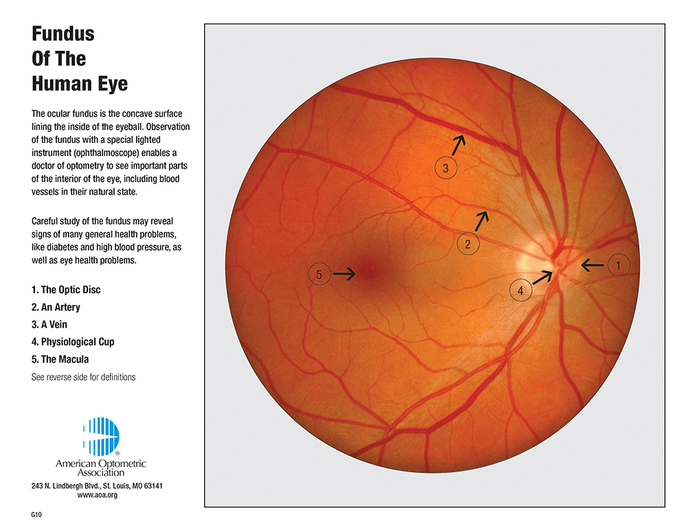 RETINA ANATOMY | Eye Desire Eye Care and Optical Boutique